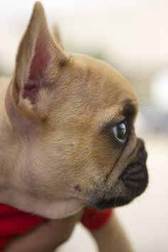 Frenchie profile