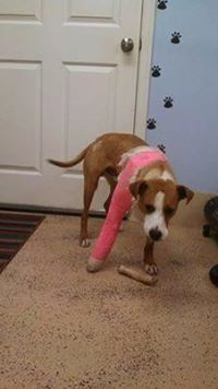 URGENT!!! PLEASE RESCUE HANK!!! PA/WV...Hank was hit by a car and then Attacked by another dog while he was injured so we got his wounds stitched up and his broken leg is healing. He is in foster care and they say that his misfortune doesn't hold him back. He runs and plays like a puppy ...