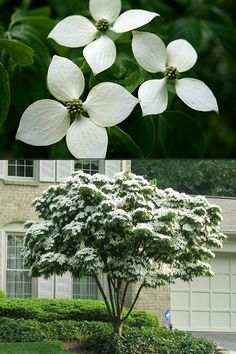 Buy White Chinese Dogwood Cornus Kousa Trees For Sale Online From Wilson Bros Gardens