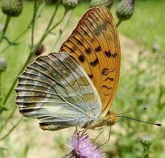 Argynnis paphia (Linnaeus, 1758) - le farfalle della Puglia