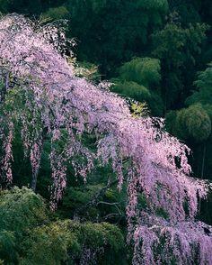 Sakura, japan, cherry blossom, pink, flower