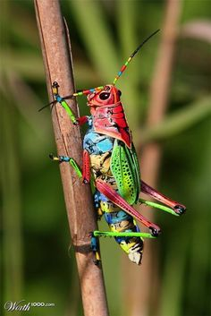 cool bugs as a theme Painted Grasshopper, Dactylotum bicolor. Also known as the Rainbow Grasshopper. Nature is AWEsome! Beautiful Creatures, Animals Beautiful, Animals And Pets, Cute Animals, Nature Animals, Cool Bugs, A Bug's Life, Beautiful Bugs, Beautiful Pictures