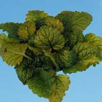 Lemon Balm 'All Gold': Melissa officinalis 'All Gold'
