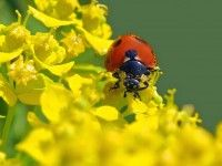 """Learn the answers to common questions about ladybugs, like, """"What do ladybugs eat?"""" and """"Why do ladybugs invade my house in the winter? Pebble Painting, Stone Painting, Pebble Art, Cyclamen Care, Rainbow Loom Charms, Insect Photography, Story Stones, Love Garden, Garden Ideas"""