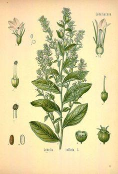 Indian tobacco http://plantillustrations.org/ILLUSTRATIONS_HD/31374.jpg