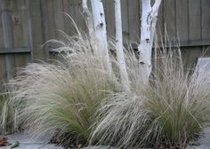 Stipa tenuissima a gorgeous wispy pale yellow green with plumes of silver maturing to blonde buff (with multi stem silver birch)