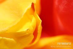 tulips, flowers, yellow, photography