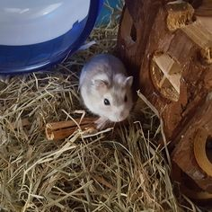 Welcome home Sancho #aww #Cutehamsters #hamster #hamstersofpinterest #boopthesnoot #cuddle #fluffy #animals #aww #socute #derp #cute #bestfriend #itssofluffy #rodents