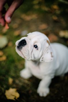 #english #bulldog #white #puppy