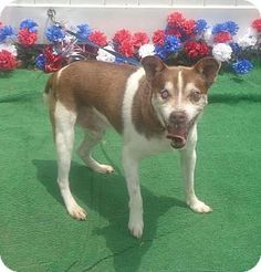 Pictures of BANDIT a Rat Terrier/Terrier (Unknown Type, Small) Mix for adoption in Marietta, GA who needs a loving home.