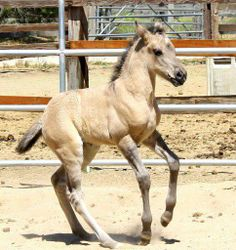 The Disappearing Breed…   There're less than 100 California Vaquero Horses left alive… it's typically around 14.2 Hands High…very intelligent and athletic…this breed only exist within the U.S.A…and without more breeders they will become extinct…you can find out more about the California Vaquero Horse by loging on to the California Vaquero Horse Association website listed below     Photo by Kimberlee Jones…