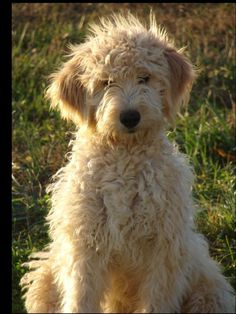Golden Doodle Puppy.. I am getting one of these.