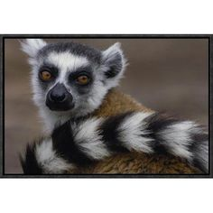 """East Urban Home 'Ring-Tailed Lemur Portrait' Framed Photographic Print on Canvas Size: 12"""" H x 18"""" W x 1.5"""" D"""
