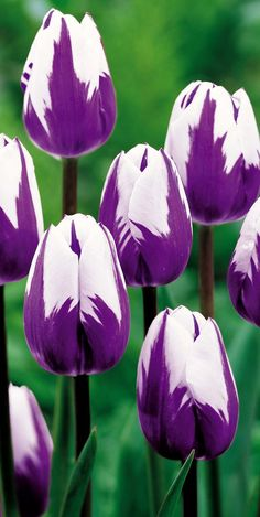 Love tulips. Cool coloring, I like purple pretty much, because it stands for romantic love, I dream of that, do you ?