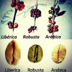 A R O M A  D I  C A F F É  . Conocer las propiedades botánicas del café; es parte esencial de todo #Barista. La variedad #Arabica se cosecha en Venezuela  desde los 400 msnm hasta los 1500 msnm. . Esta variabilidad en los pisos de cosechas le otorga facultades únicas al cafeto. Dando origen a sabores y aromas distintivos según la región y altitud donde se coseche. .  . #CulturaDelCafé en #AromaDiCaffé…