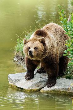 Eye Contact by Andreas Krappweis ~ European Brown Bear, Ursus arctos**