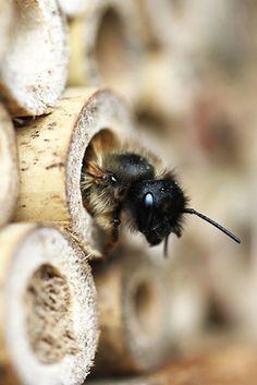 FOTO - wildbienen-garten Webseite! I Love Bees, Birds And The Bees, Reptiles, Wild Bees, Amazing Animals, Beautiful Bugs, Tier Fotos, Save The Bees, Animal Wallpaper