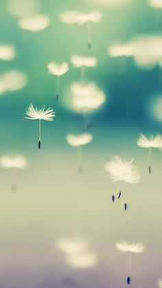 Dandelion - The iPhone Wallpapers