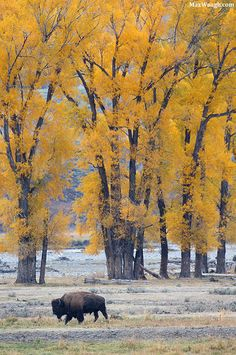 earthandanimals:   Autumn in the Lamar Valley   Photo by Max Waugh