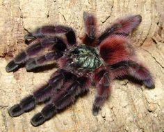 Avicularia versicolor Scorpion, Spider Species, Pet Spider, Pink Toes, Veneno, Pets For Sale, Reptiles And Amphibians, Exotic Pets, Beautiful Creatures