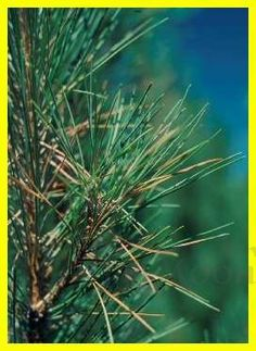 Scotch Pine Oil 1/2 oz Pine Essential Oil, 100 Pure Essential Oils, Pine Oil, Oil Shop, Pine Needles, Winter Solstice, Incense, Herbs, Pure Products