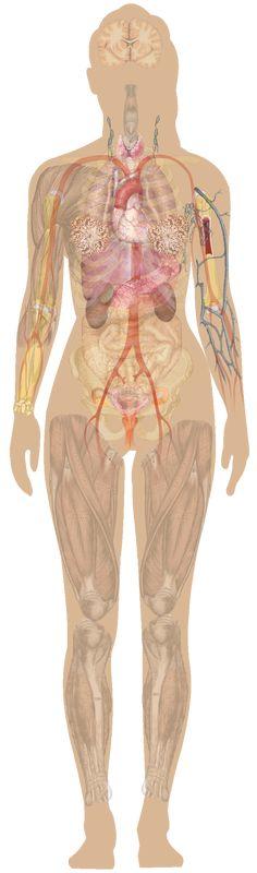 14 Best Human Anatomy Female Images On Pinterest Human Anatomy