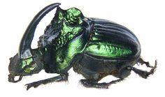 Family: Scarabaeidae Size: 11-17 mm Origin: Mexico Location: Mexico, Morelos leg Marx, 1982, det. U.Schmidt Photo: U.Schmidt, 2006