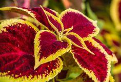 Coleus Bloom - Google Search