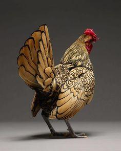 Quand deux photographes capturent les plus belles poules du monde (image)