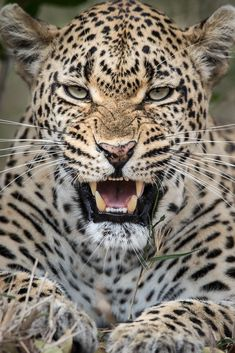 Staring almost right through the camera -the many expressions of the Tamboti Female. Nature Animals, Animals And Pets, Cute Animals, Wild Photography, Animal Photography, Leopard Print Background, Wild Animal Wallpaper, Jaguar Animal, Leopard Tattoos