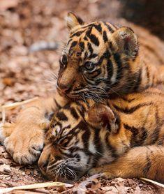 Sumatran cub brothers