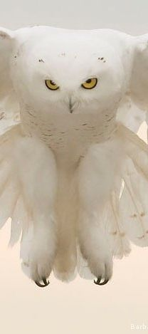 Gorgeous White Owl ~ I've got nails to use when needed.