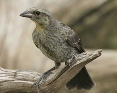 Bronzed Cowbirds can be found at Pancho Villa State Park, which is part of the SW NM Birding Trail (Summer)