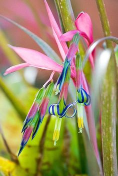 Queens Tears bromeliad. I have this blooming on my front porch right now.
