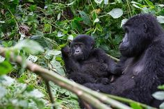 Gorillas relaxing, Bwindi Impenetrable National Park, Uganda