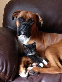 Best friends! #Boxer and cat
