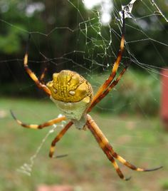 This is a BIG beAuTIfuL spider!