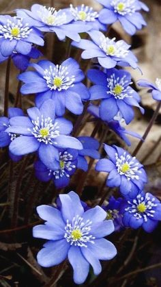 hepatica-lentebloemen-flowers beginjaren-Blumendeko lente Source by Amazing Flowers, Purple Flowers, Spring Flowers, Wild Flowers, Beautiful Flowers, Beautiful Gorgeous, Beautiful Gardens, Garden Plants, Planting Flowers