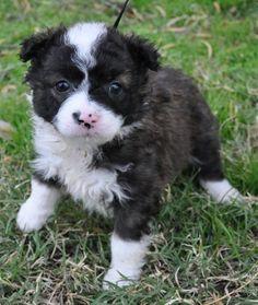 Adopt a Dog: Australian Shepherd Mix