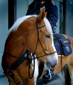 Barefoot and Bitless... Houston Mounted Patrol Unit ~ 36 barefoot working police horses. They also use Parelli Natural Horsemanship, and ride bitless!