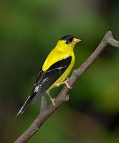 The American Goldfinch (Carduelis trisis) is a small North American bird in the finch family.