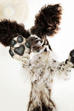 When I first saw this in a smaller image I wasn't even sure exactly what it was. photo by Dennis Blomberg: Orion Pharma: Choice Stockholm Chien Springer, I Love Dogs, Cute Dogs, Animals And Pets, Cute Animals, Dog Grooming Tips, Pet Tips, English Springer Spaniel, Dog Photography