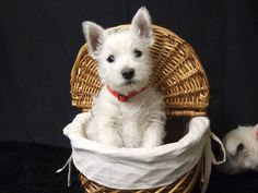 "Just let the ""breeze"" go through your ""four-legged friend"" hair by using a traditional and classical wicker dog bike basket! Westies, Westie Puppies, Cute Puppies, West Highland White, Dog Bike Basket, Baby Animals, Cute Animals, Biking With Dog, Dog Stroller"