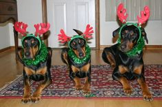 Christmas with Dobermans just wouldn't be the same without a few reindeer