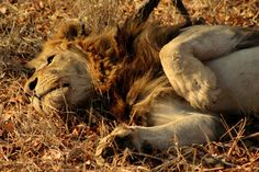 Lazy Lion spotted by our guide FJ in the #KrugerNationalPark #Safari #Africa