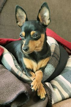 Miniature Pinscher - After zipping around the living room a few times, this dog is ready to curl up in a corner and take their eight-hour nap. Relatively healthy and easy to groom.