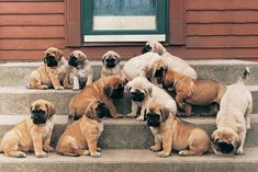Find Mastiff Puppies in your area and helpful tips and info. All purebred Mastiff puppies are from AKC registered parents. Mastiff Dog Breeds, English Mastiff Puppies, Akc Breeds, English Mastiffs, Giant Dog Breeds, Giant Dogs, I Love Dogs, Cute Dogs, Mastiff Puppies For Sale