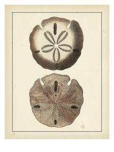 Antique Shells V Giclee Print Denis Diderot