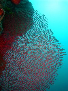 Photo about Red Fan Coral on blue background. Image of water, ocean, coral - 14860361 Arte Coral, Coral Art, Coral Reef Ecosystem, Fan Coral, Underwater City, Ocean Pictures, Ocean Creatures, Sea And Ocean, Patterns In Nature
