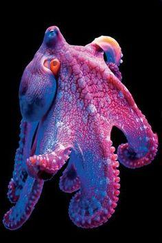 Miss M's Girl's Trip / karen cox. Mermaid's Dive: Under the Sea Amazingly Colorful Hawaiian Octopus Ocean Pictures Beautiful Sea Creatures, Deep Sea Creatures, Animals Beautiful, Strange Creatures, Strange Animals, Underwater Creatures, Underwater Life, Fauna Marina, Ocean Pictures